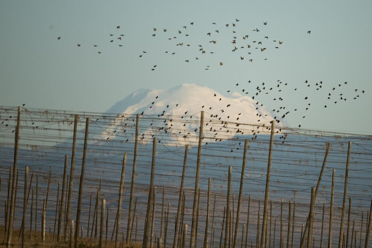 A large flock of starlings takes off over old hop trellises upon seeing one of the falcons.