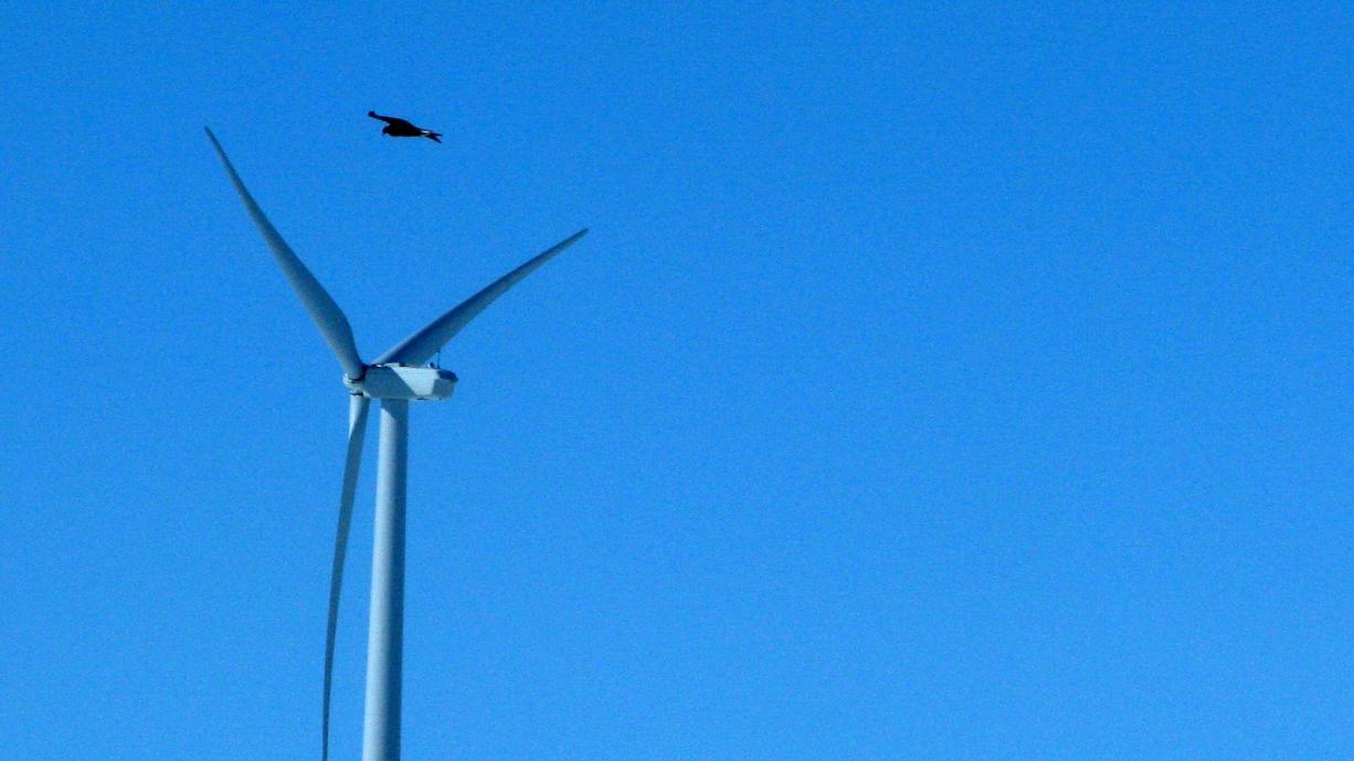 A golden eagle flies over a wind turbine on Duke Energy's wind farm in Converse County, Wyo.