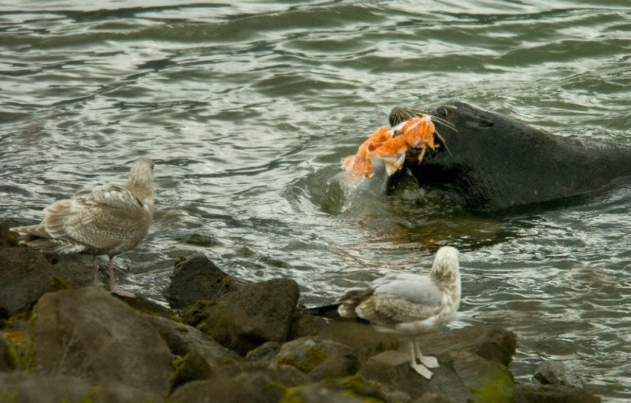 A sea lion devours a salmon near Bonneville Dam in the spring of 2008, the first year that state authorities began trapping sea lions that treat the man-made bottleneck in the Columbia River as a buffet line.