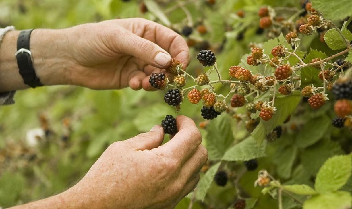A Clark County berry picker plucks blackberries from a favorite secret spot off Northwest Rieger Memorial Highway.