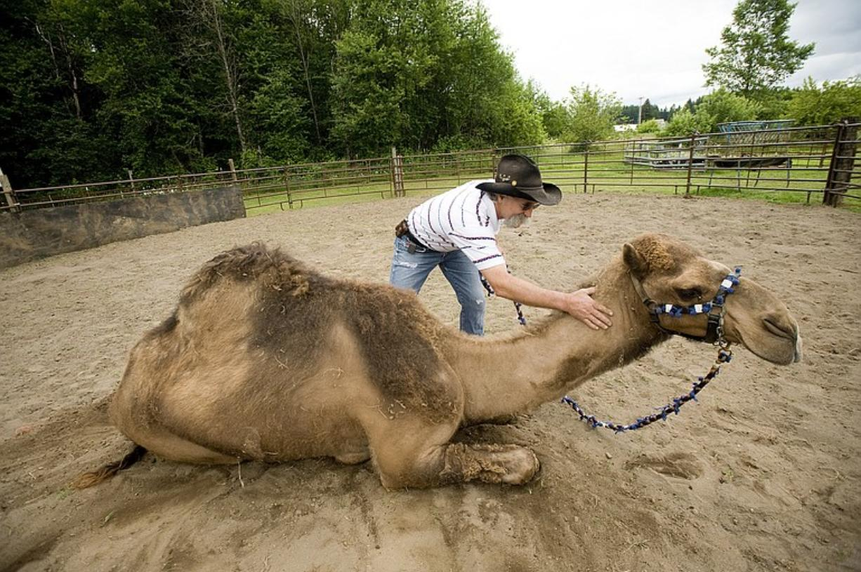 Curly the Camel and Jeff Siebert at their La Center area farm.