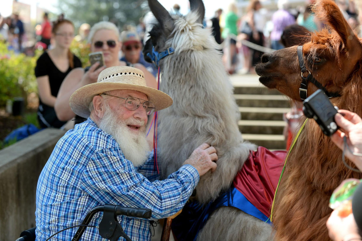 Norm Jahnke of Vancouver gets a hands-on experience with Smokey, a llama from Mountain Peaks Therapy Llamas