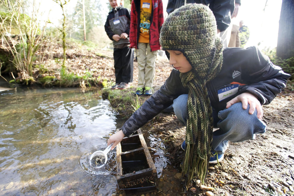 Andrew Swatosh, 10, a fourth-grader at Hockinson Heights Elementary, releases a scoop of coho salmon into Gravel Point Creek on Thursday east of Battle Ground as part of the Salmon in the Classroom program organized by the Columbia Springs Environmental Education Center. The students helped release about 10,000 coho salmon.