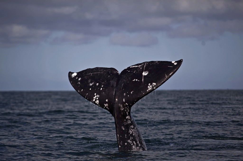 Gray whales can be seen along the coasts of Oregon and Washington.