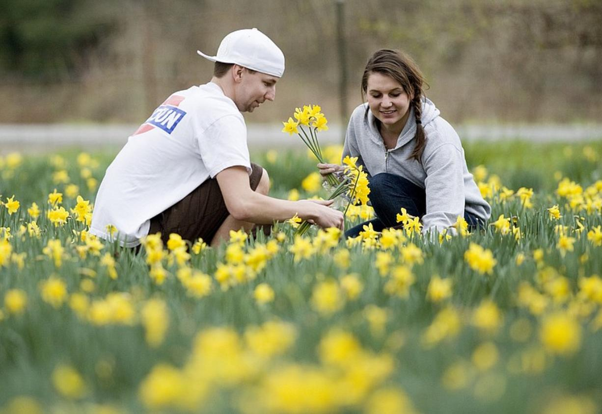"Trevor Meis, 23, and his girlfriend Calin Benson, 21, mix pleasure with picking Sunday at the LaLonde ""daffodil house"" -- Seward Road and 151st Street in Felida. The 15,000 or so daffodils should bloom for another month, the LaLondes say. You can pick a dozen for 50 cents."