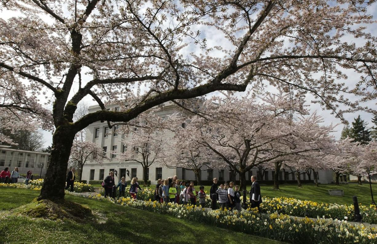 A school group walks under  blooming cherry trees near the Legislative Building at the Capitol in Olympia on Tuesday, April 10, 2012.