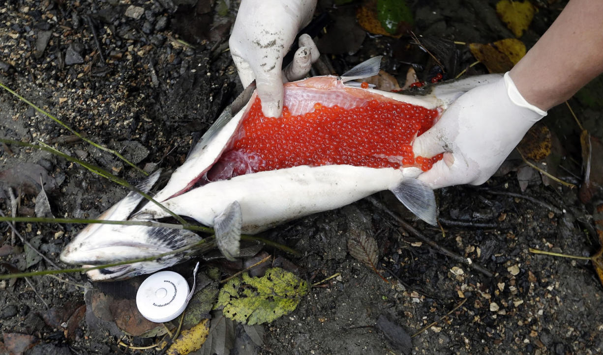 A researcher slices open the belly of a female coho found dead in Seattle's Longfellow Creek to reveal she was still full of eggs and had not spawned.