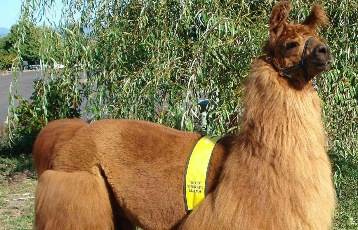 """Rojo the therapy llama will be on """"Unlikely Animal Friends"""" at 7 and 10 Friday night on National Geographic Wild."""