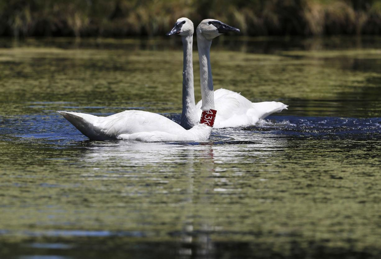 Trumpeter swans Chuck, left, with collar, and Grace swim around July 23 at the Sunriver Nature Center in Sunriver, Ore.