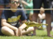 WOODLAND: A frog jumps for glory during the annual Frog Jump competition during the 2013 Planters Days celebration in Woodland.