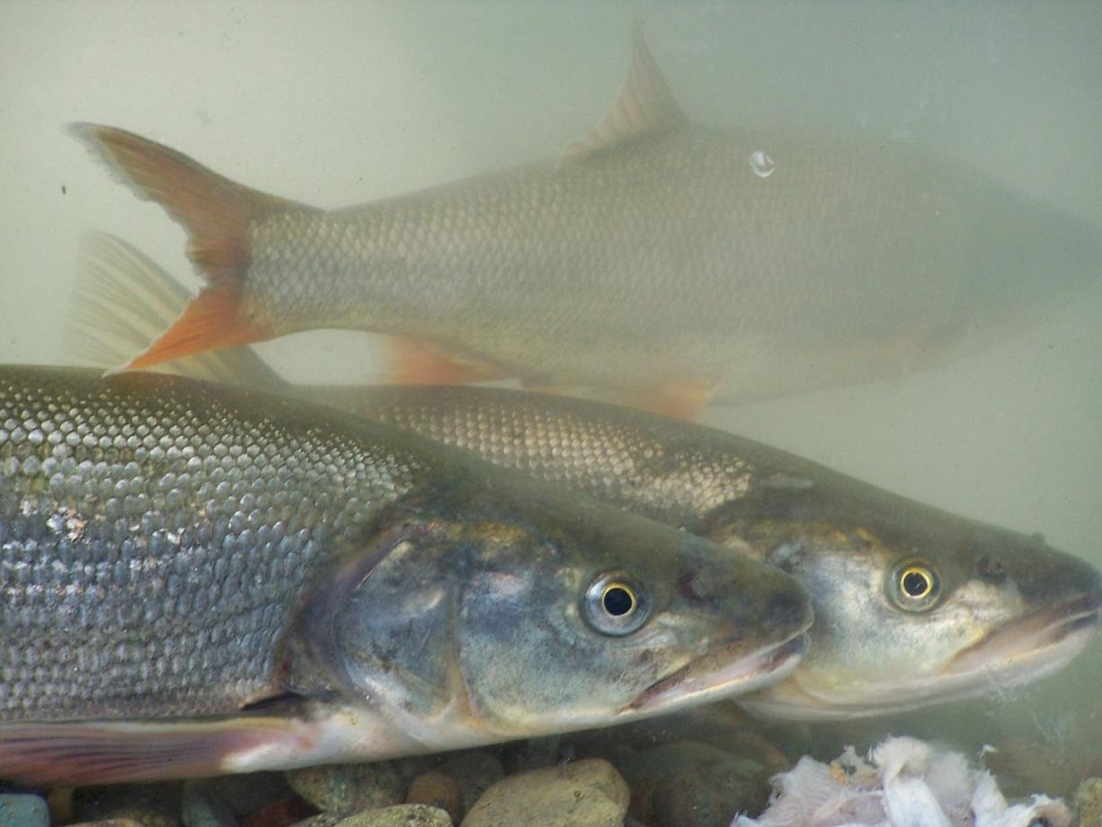 The northern pikeminnow sport reward program pays a bounty from May through September for fish longer than 9 inches. (Washington Department of Fish and Wildlife photo)