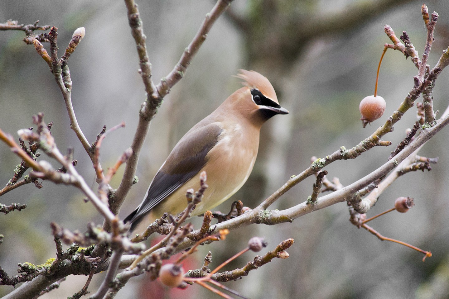 Signs of Spring:  A cedar waxing sits in a tree in downtown
