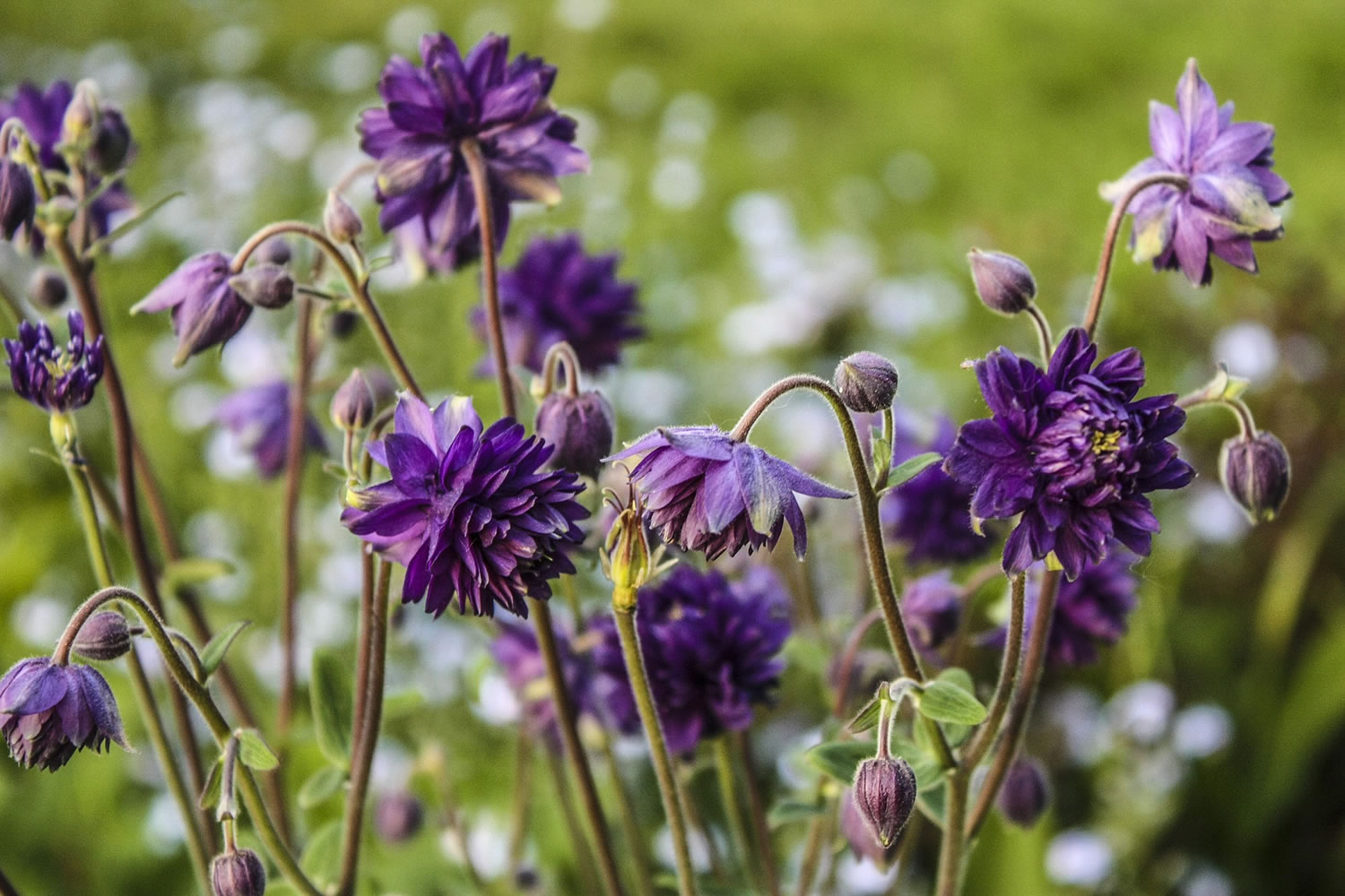 The purple columbine are dancing all around our yard right now signaling summer's soon arrival. Photo by Diane Stevens May 20, 2014