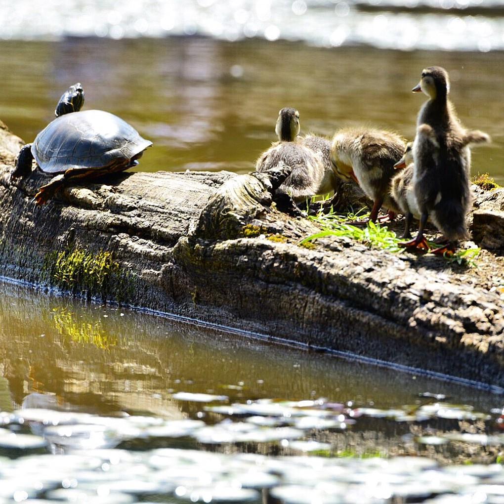Baby ducks wake sleeping turtles at Steigerwald Refuge in Washougal.