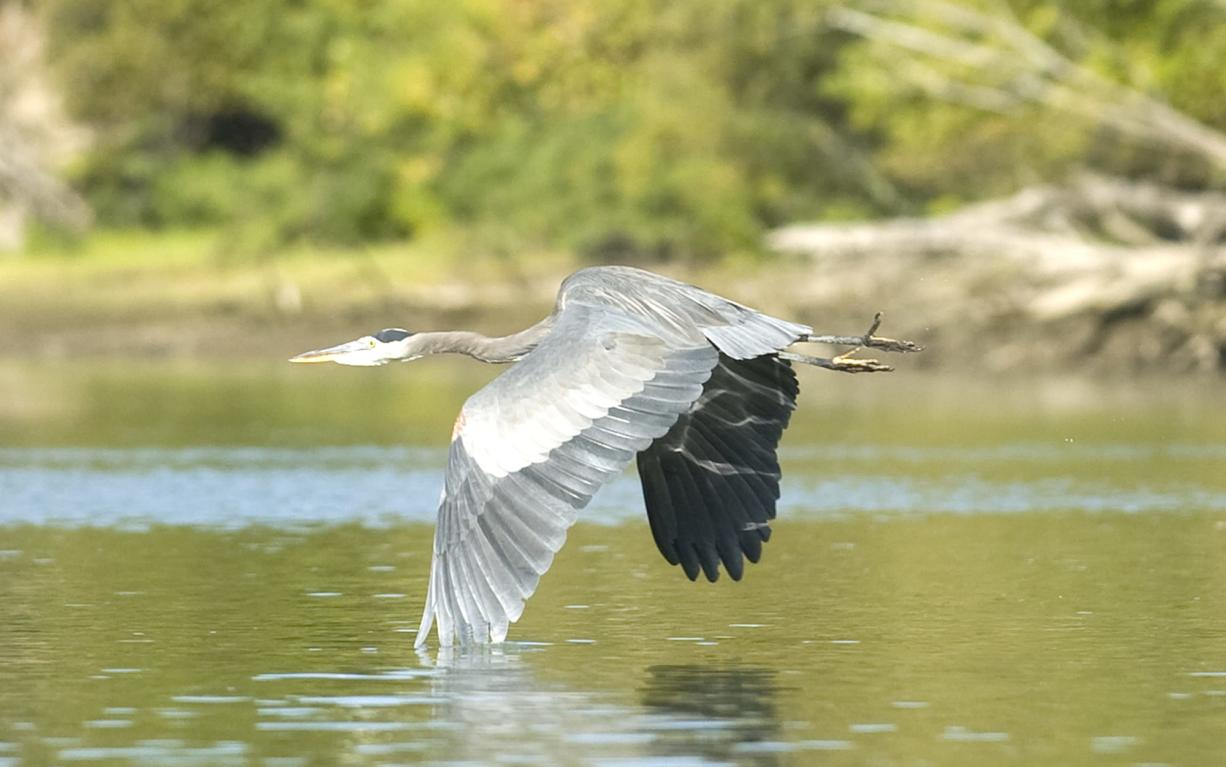 A Blue Heron takes flight from Lake River near Ridgefield.