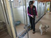 Carmen LeBlanc, supervisor of animal health and behavior at the Humane Society for Southwest Washington, works April 14 with Rover, who can be aggressive when he is moved from his position, such as in a chair or sofa.