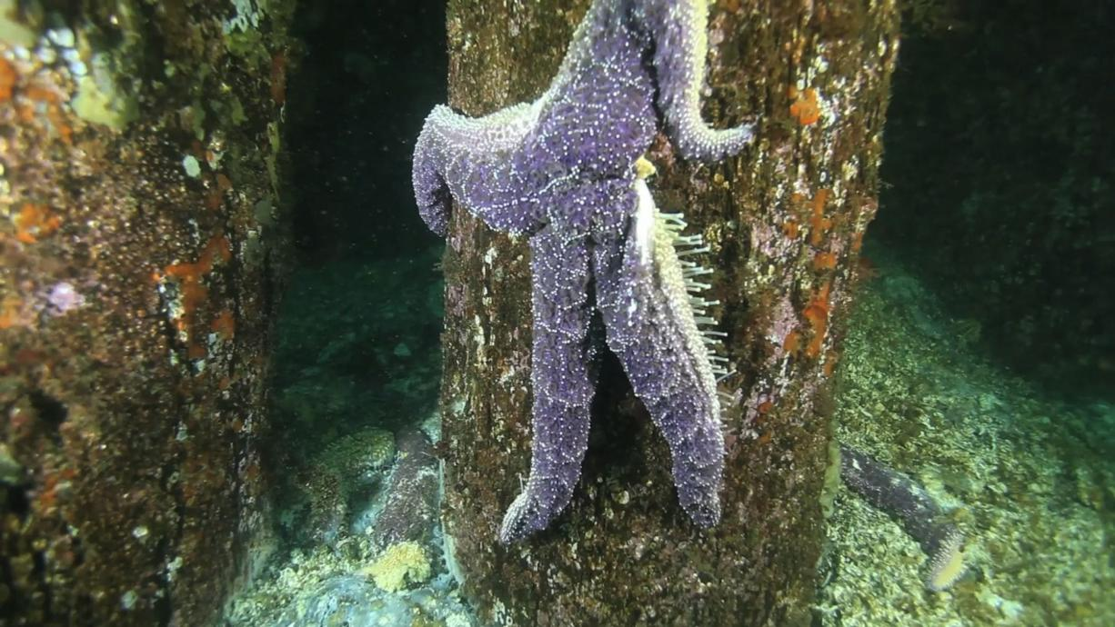 A dying Pisaster ochraceus sea star in the waters off West Seattle dangles by its tentacles off a piling that would normally be covered with a rainbow of sea stars.