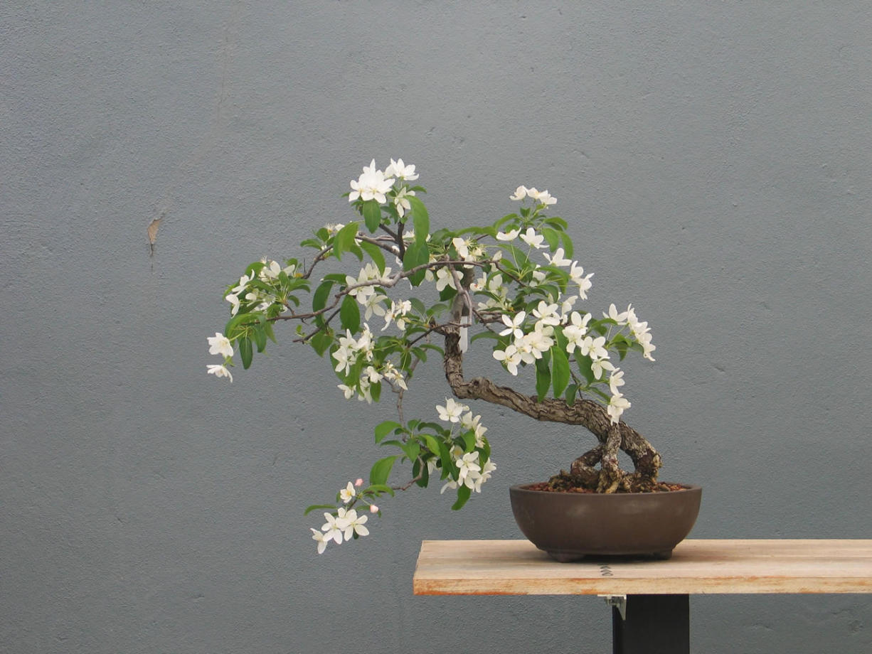 A Malus slant style bonsai in spring in New York. The very best bonsai stories are about passion and beauty and transformation.
