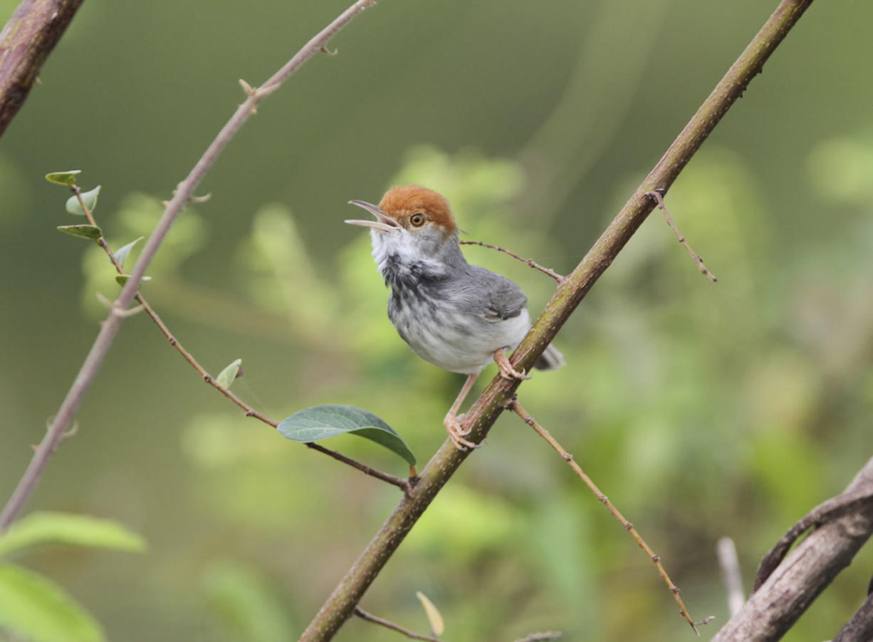 The Cambodian tailorbird -- a small, dark warbler with an orange-red tuft on its head discovered, in Phnom Penh.