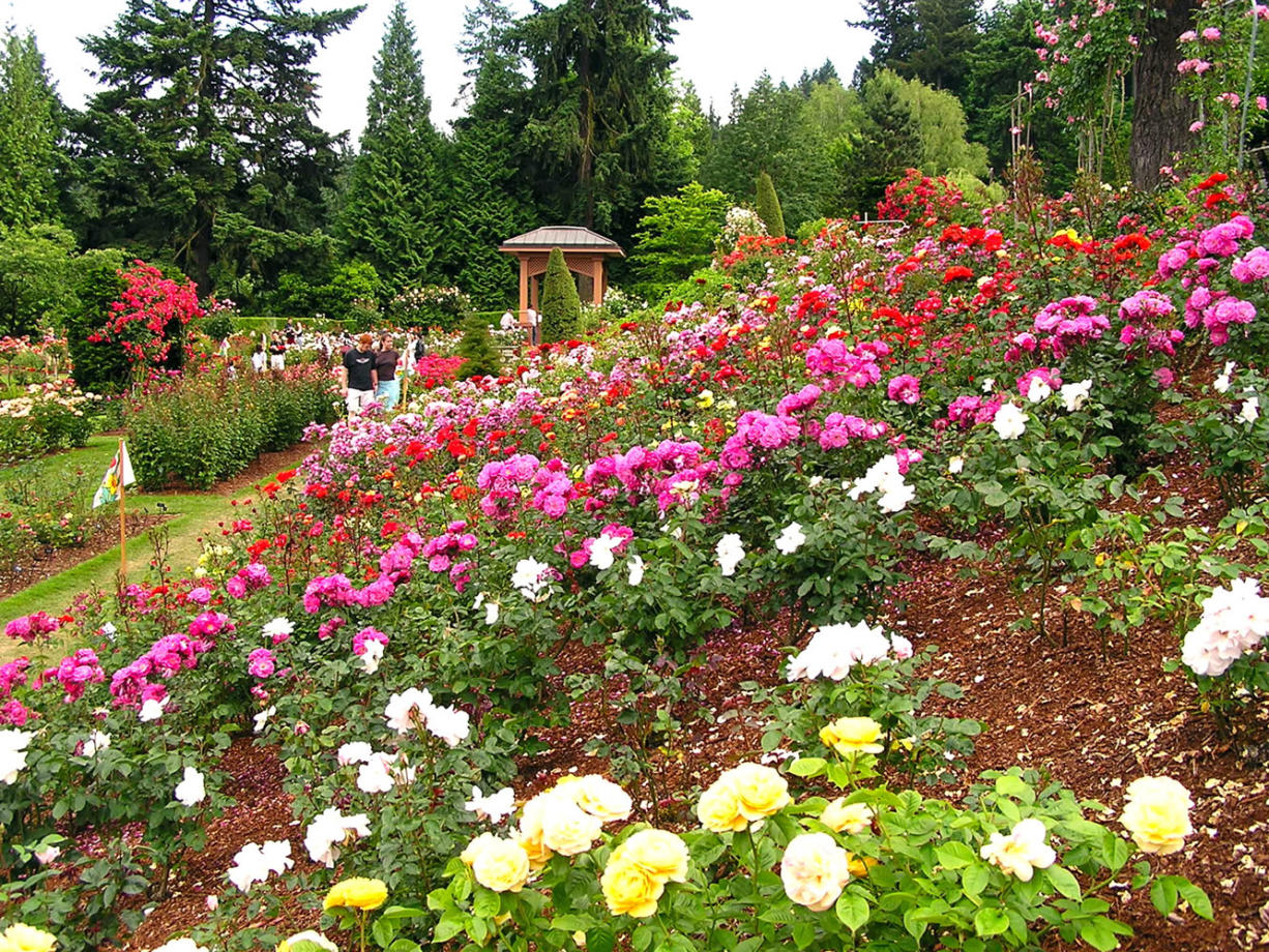 Portland rose garden's history lies in WWI - The Columbian