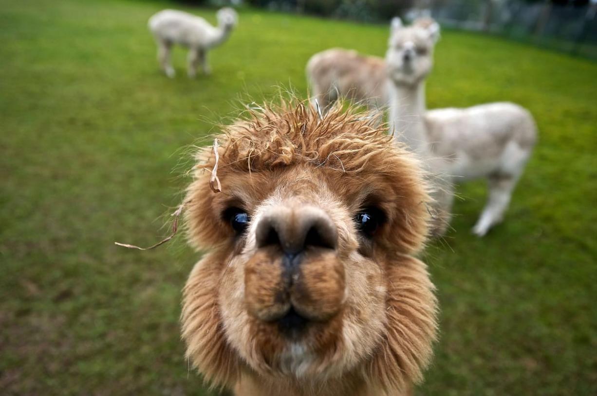 """Miss America,"" a young female alpaca, says hello at the  Serendipity Alpaca Ranch  near Ridgefield."