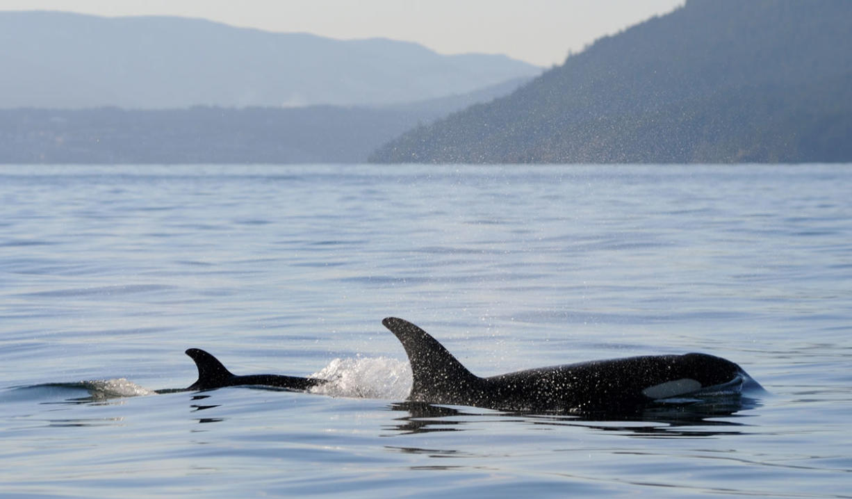 A new baby orca whale swims near its mother Tuesday near Vancouver Island in the Canadian Gulf Islands of British Columbia. The newborn is being called J-50.