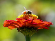 FILE - In this Sept. 1, 2015, file photo, a honeybee works atop gift zinnia in Accord, N.Y. While scientists have documented cases of tiny flies infesting honeybees, causing the bees to lurch and stagger around like zombies before they die, researchers don?t know the scope of the problem. Now they are getting help in tracking the honeybee-killing parasite from ZomBee Watch, created in 2012 by John Hafernik, a biology professor at San Francisco State University.