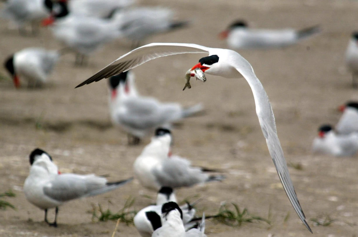 Caspian terns are plentiful in the Columbia River estuary. These birds were on East Sand Island between Chinook and Ilwaco in Pacific County.
