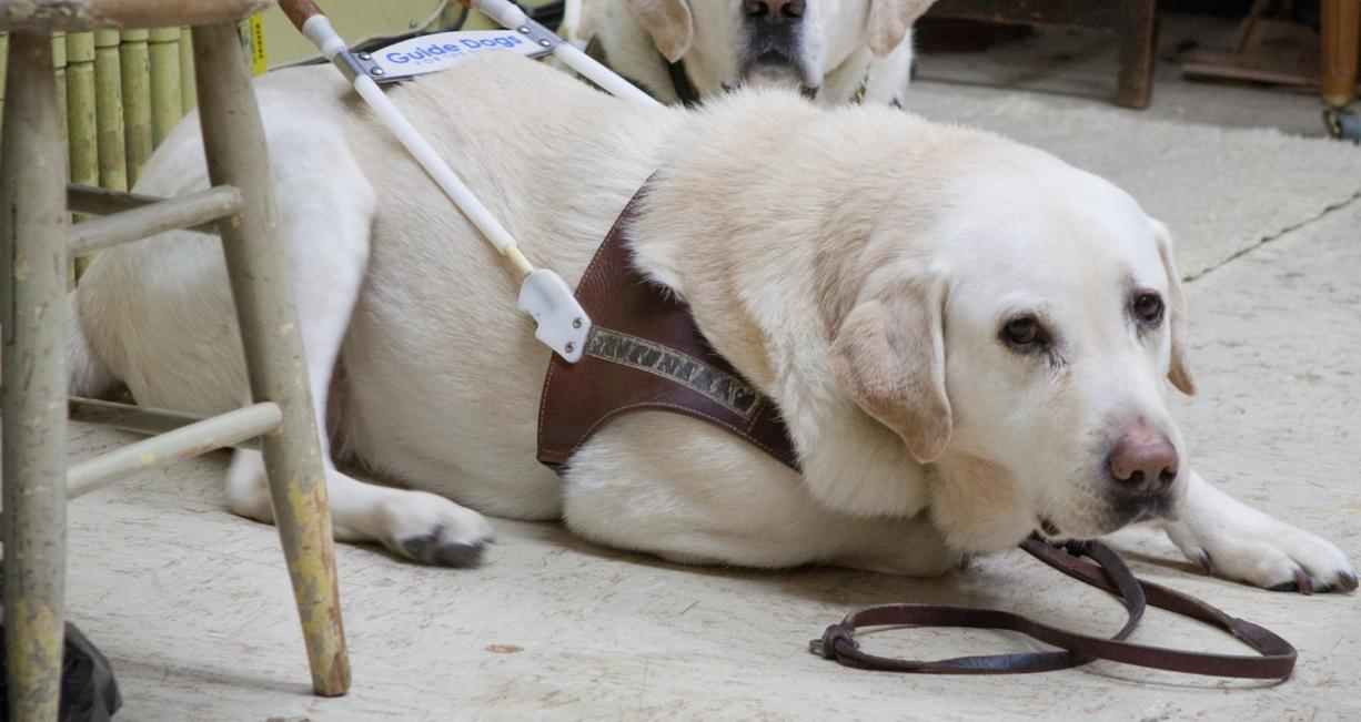Beethoven, a 10-year-old yellow lab with a white coat, is a guide dog for Blake Hardin, who is visually impaired.