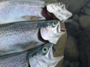 The rainbow trout in Swift Reservoir on the upper North Fork of the Lewis River are averaging 13 inches this November.