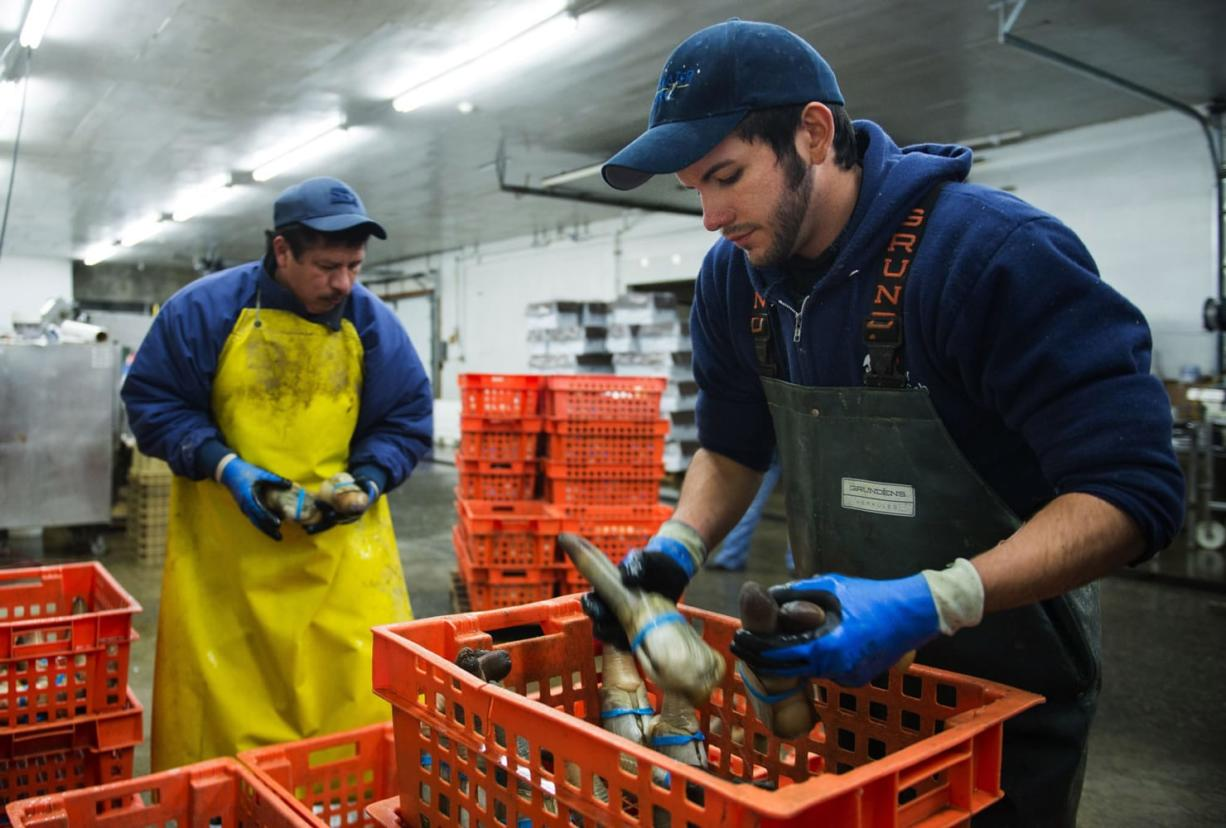 Enri Mendoza, left, and Daniel Sandoval, sort geoduck at Taylor Shellfish Farms in Shelton, Wash., in December.  China, the biggest market for West Coast geoduck, suspended shellfish imports from Northern California to Alaska on Dec.