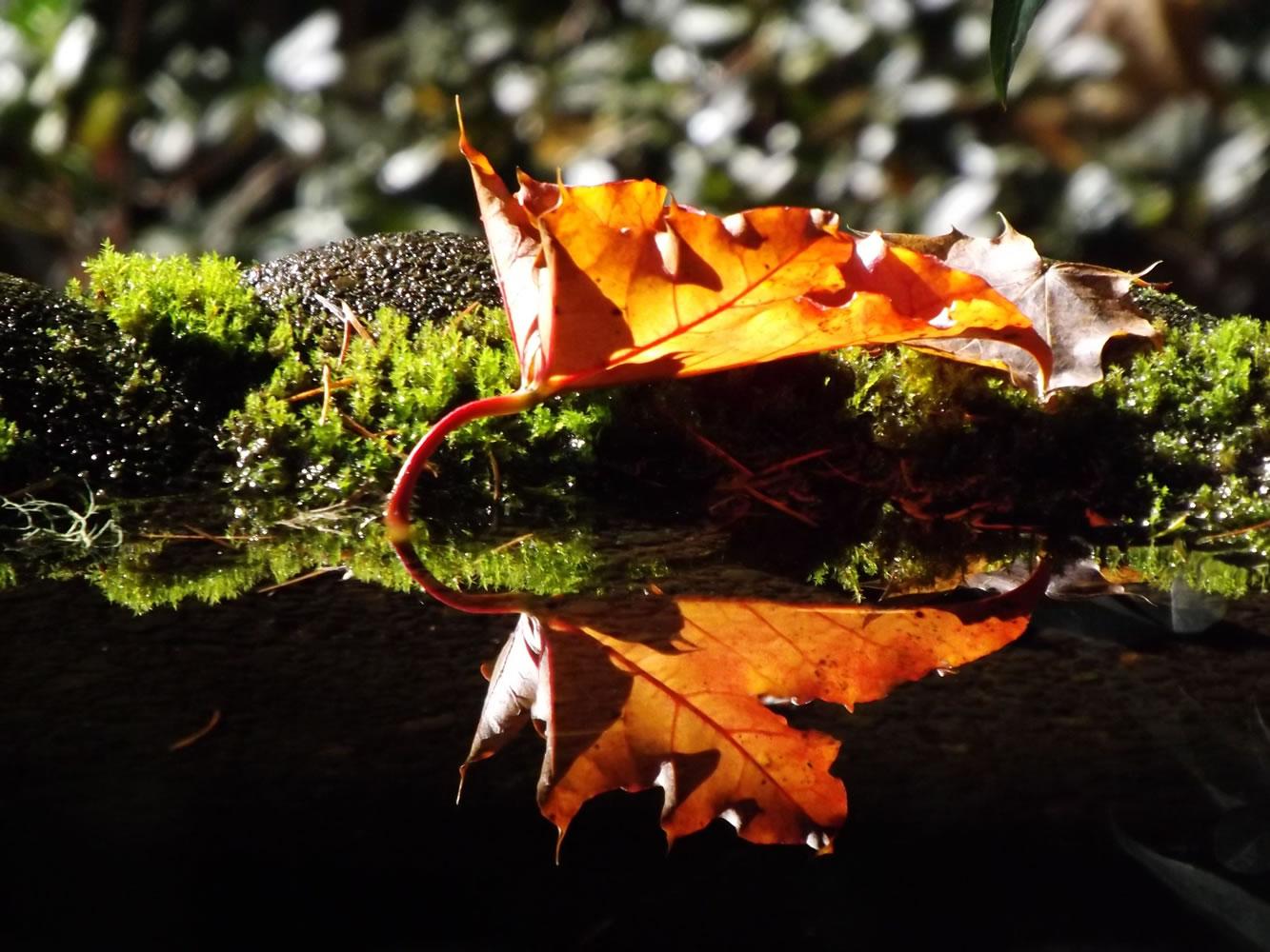 Reflection of fall in our birdbath. Photo taken 10/22/2015 in Hockinson.