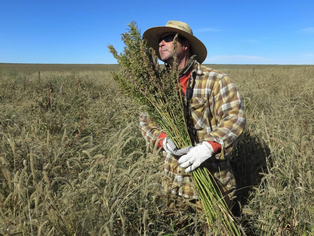 Hemp chef Derek Cross helps harvest hemp during the first known harvest of the plant in more than 60 years, in October in Springfield, Colo.
