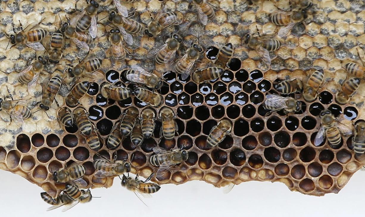 Bees clamor on their honeycomb during a hive inspection.