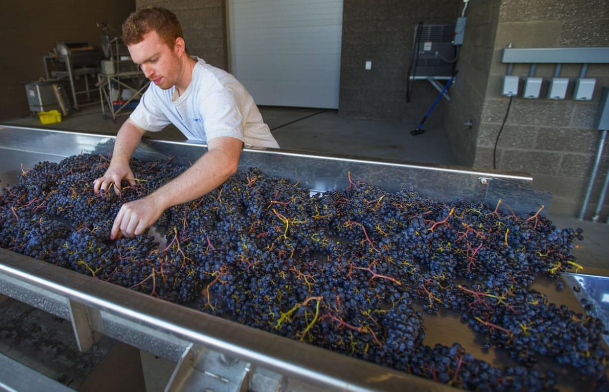 Washington State University Wine Science Center intern Colin Hickey examines merlot grapes received from Klipsun Vineyards as the grapes move along a conveyor towards the crusher in Richland.