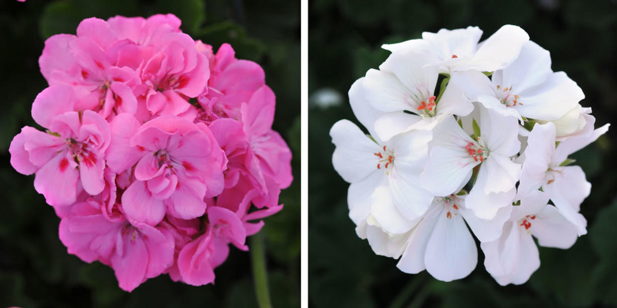 Ball Horticultural's Double Take Pink Plus Eye, left, and Double Take White are new interspecific hybrid varieties.
