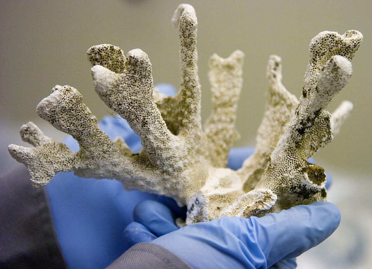 A National Park Service museum technician shows a piece of Hawaiian coral in the Fort Vancouver artifact collection.