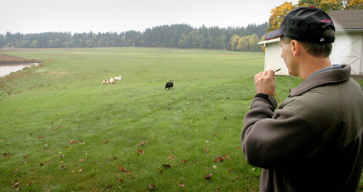 Lynn Johnston uses a whistle to direct Anna, his Australian border collie, to round up sheep on his fifth-generation dairy farm in 2006.