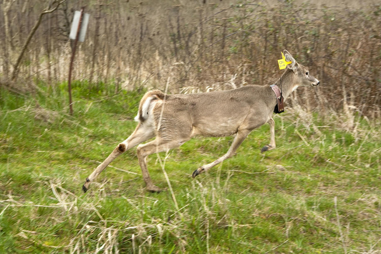 Thirty-seven endangered white-tail deer were moved to the Ridgefield National Wildlife Refuge.