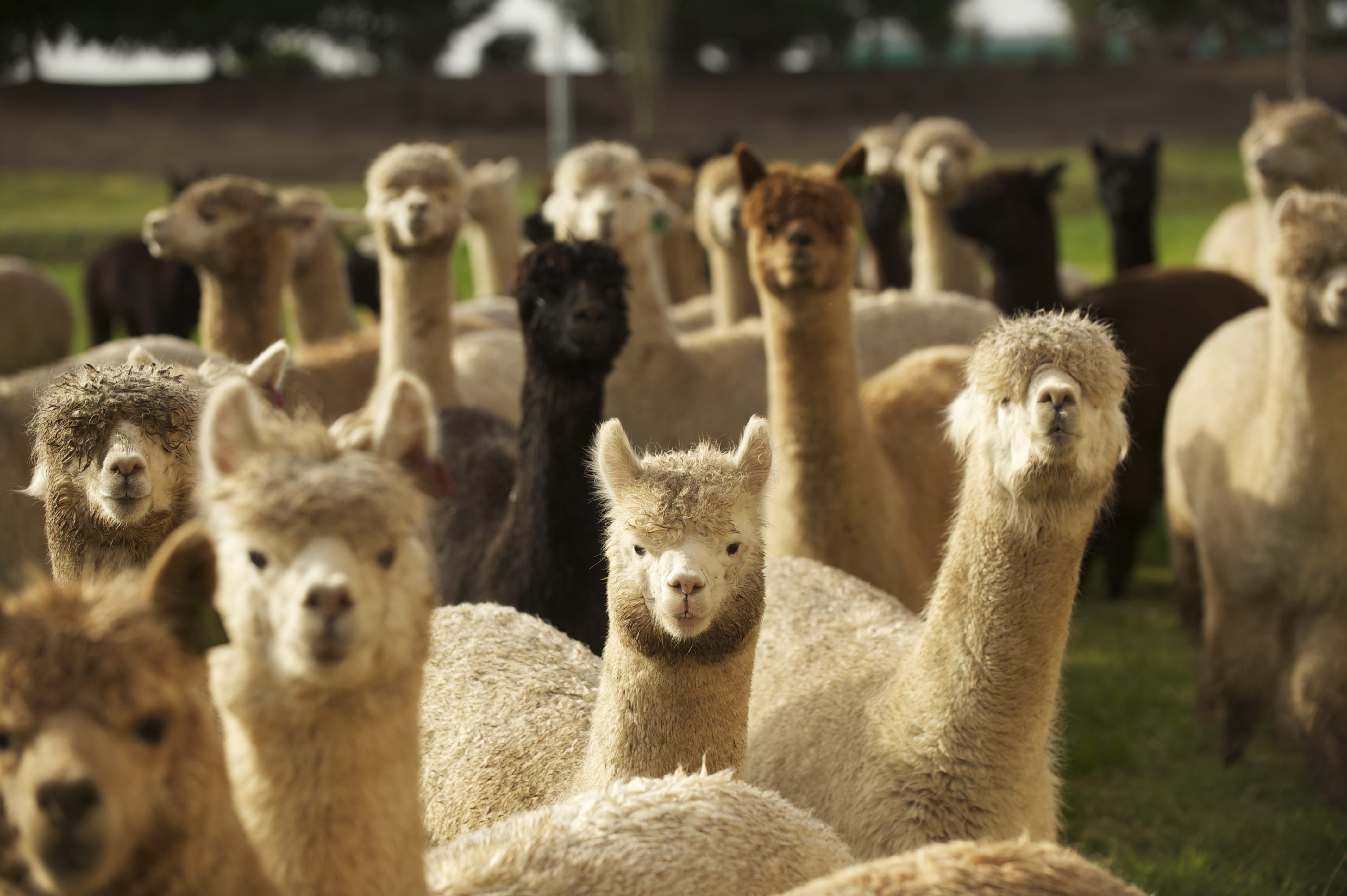Alpacas at The Alpaca Group in Ridgefield are curious about humans, if shy about coming close, and some will get a chance to see lots of people at Alpacapalooza this weekend.