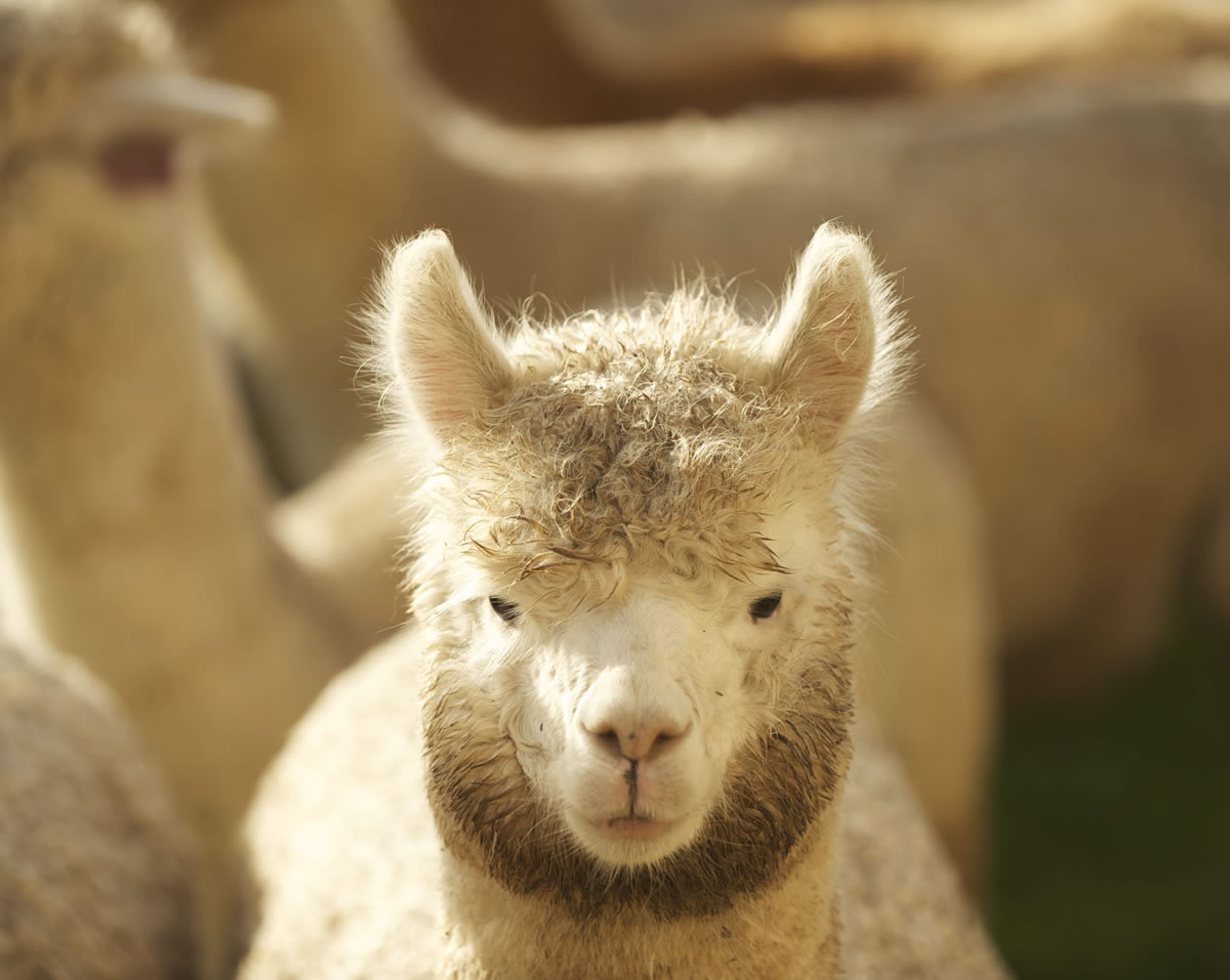 Alpacas at The Alpaca Group in Ridgefield look something like a cross between a giraffe and a poodle.