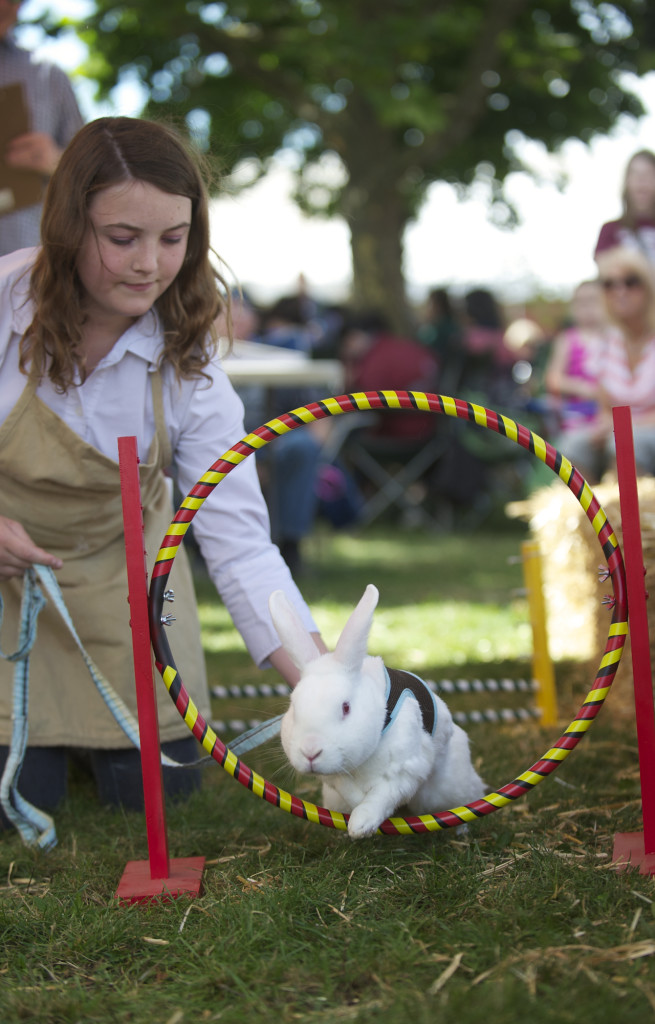 bunnies brave obstacle course at fair the columbian