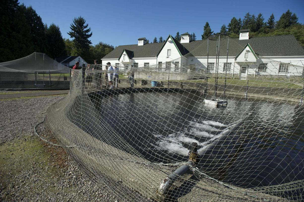 "Photos by Steven Lane/The Columbian Visitors look at the thousands of trout being raised to a ""catchable size"" in outdoor ponds at the Vancouver Trout Hatchery, part of the Columbia Springs natural area. The hatchery celebrated its 75th anniversary this week."