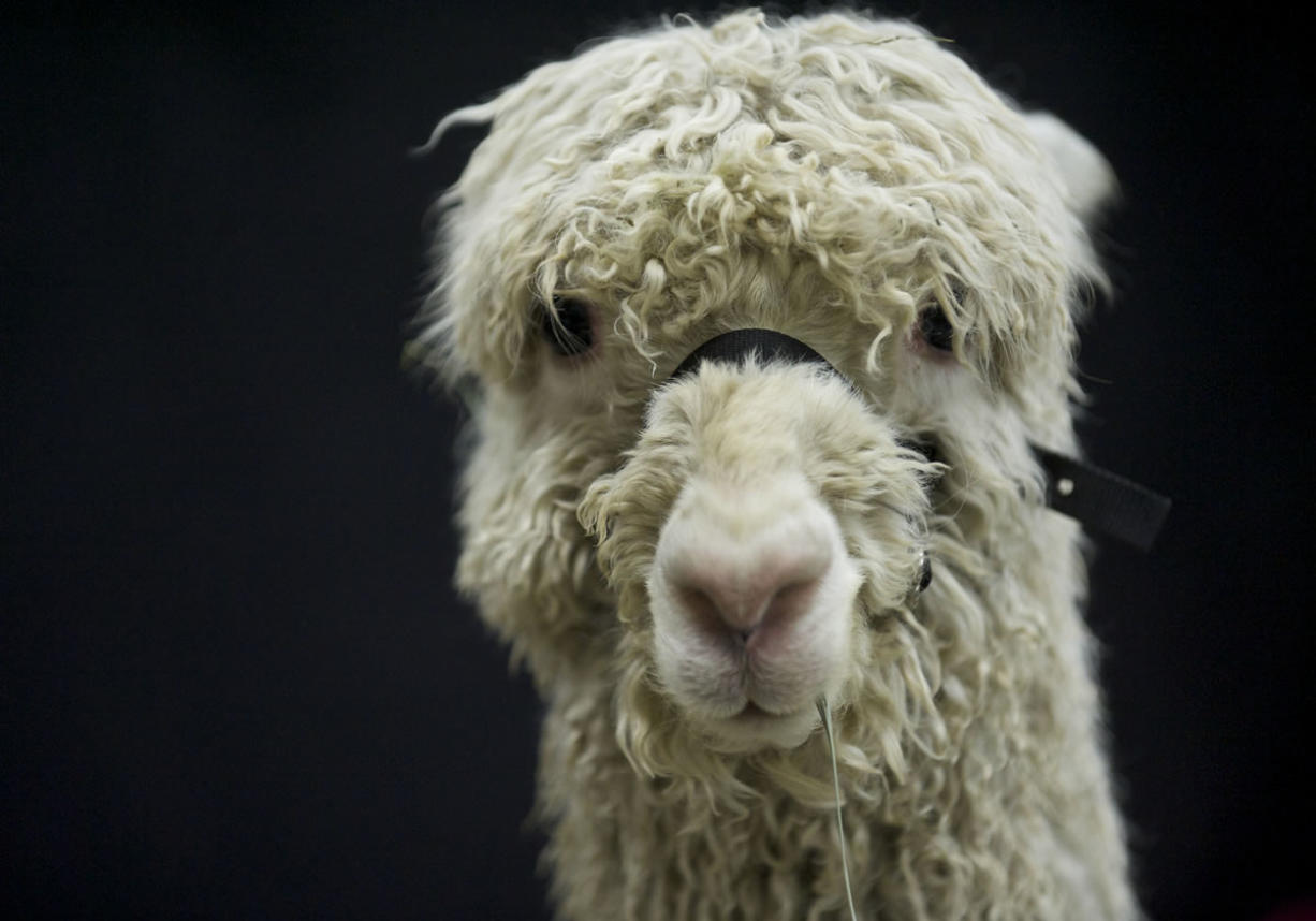 A Suri alpaca takes in the sights and sounds.