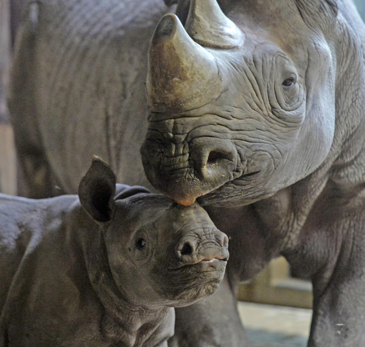 A black rhinoceros licks its cub at the zoo in Krefeld, Germany, on Thursday.