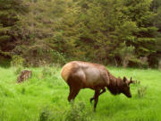 Hoof disease has crossed the Columbia River and been observed in elk in northwest Oregon, as evidenced by this trail camera photo.