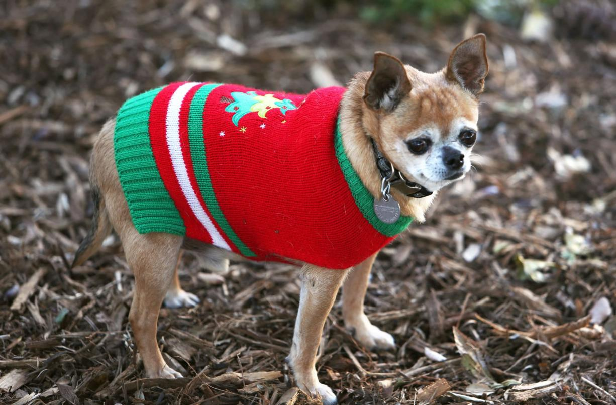 Right: Eight-year old Chihuahua Coco gets out in the winter cold in his new Christmas sweater in Los Angeles. (Richard Vogel/Associated Press)