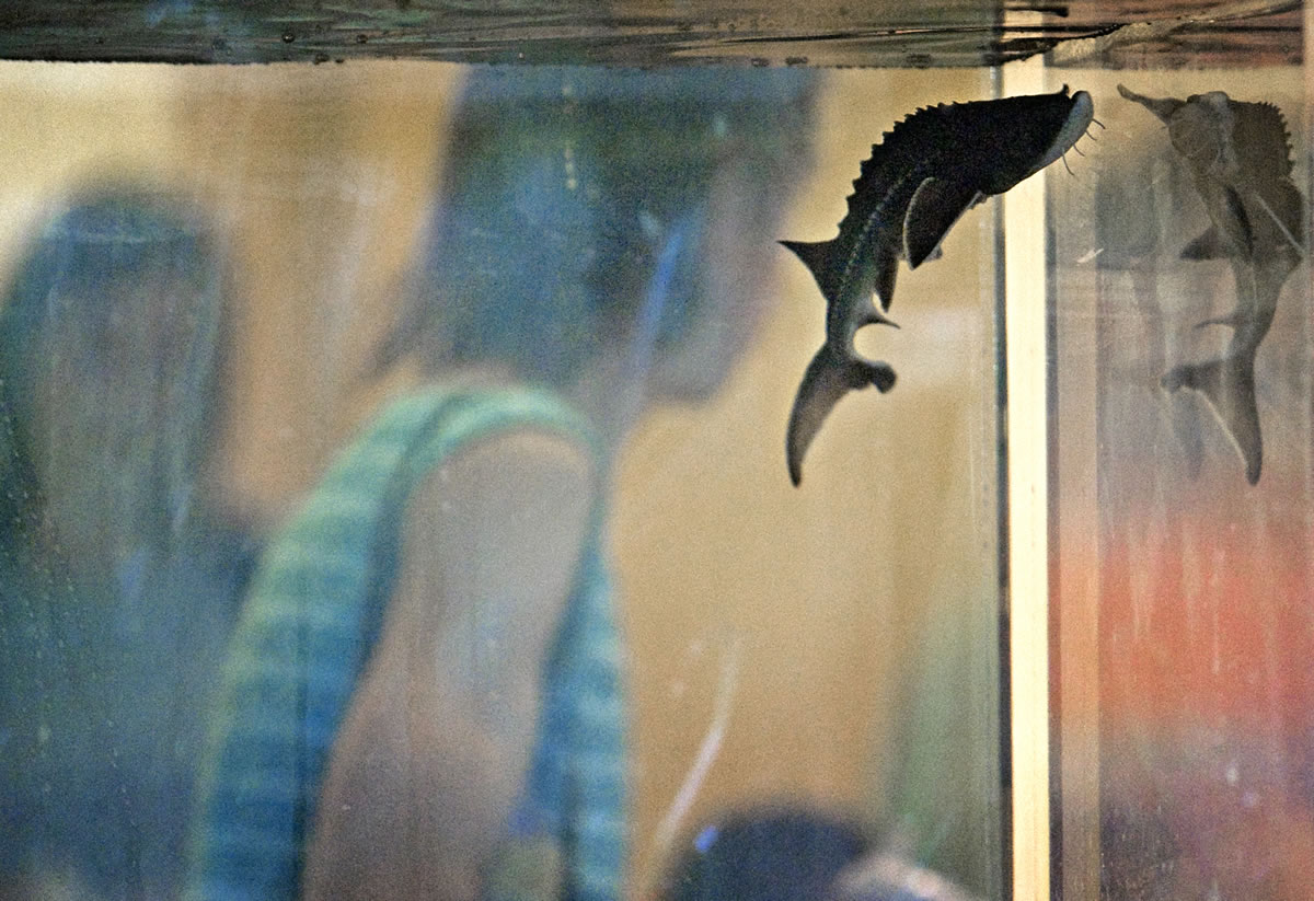 Columbian files   Sturgeon will take center stage during the annual Sturgeon Festival on Saturday.