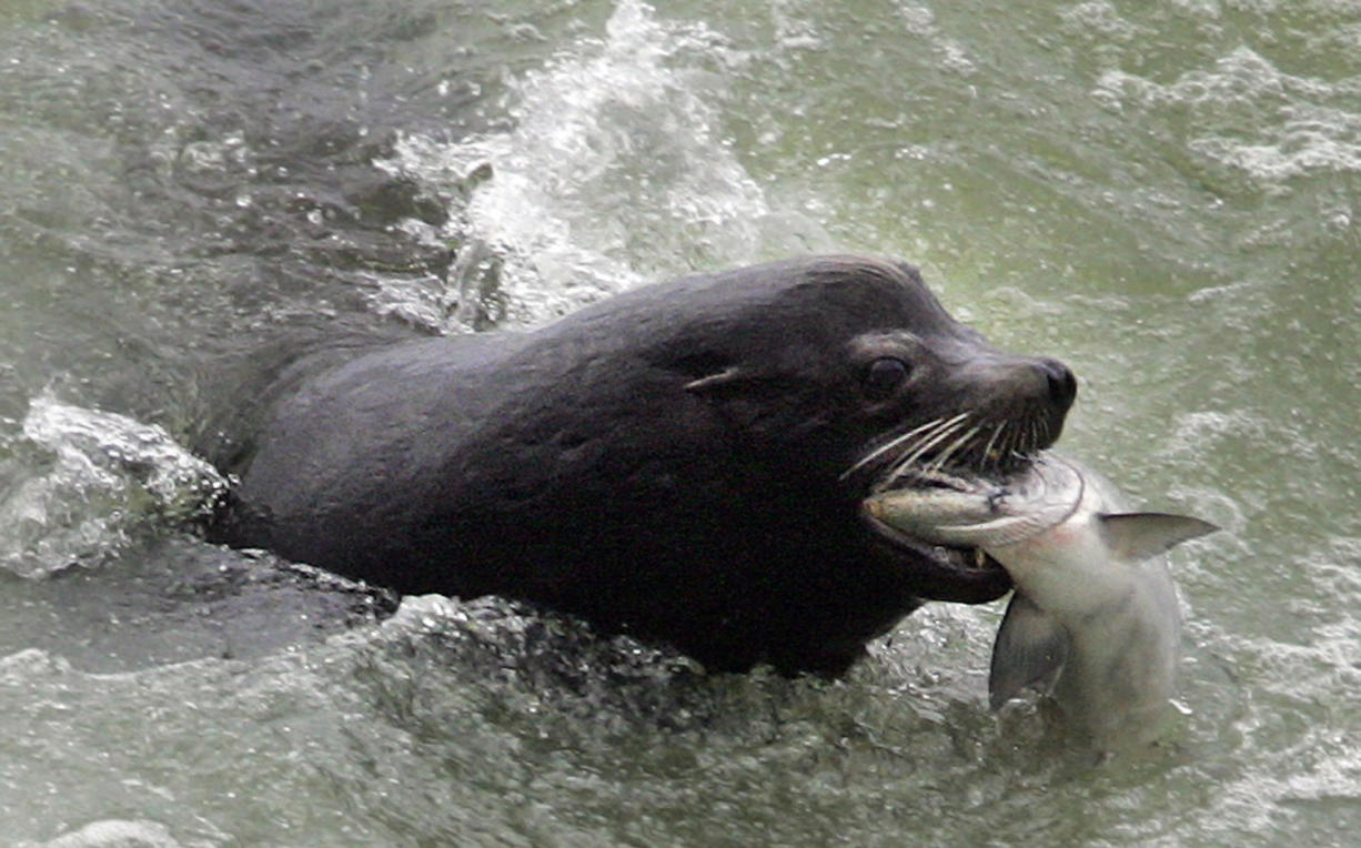 A sea lion catches a salmon on the Columbia River just below the spillway at Bonneville Dam.
