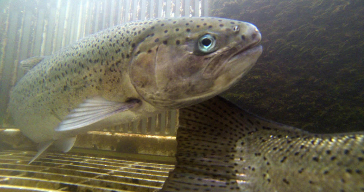 Federal officials say Skamania Hatchery summer steelhead, shown here, have been changed by hatchery breeding over the generations and no longer behave like a fish adapted to the lower Columbia River.